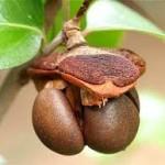 Camellia Seed