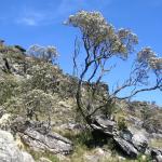 Candeia Tree