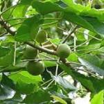 Kukui Nut